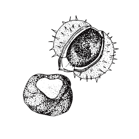 Fruit of chestnut tree hand drawn sketch