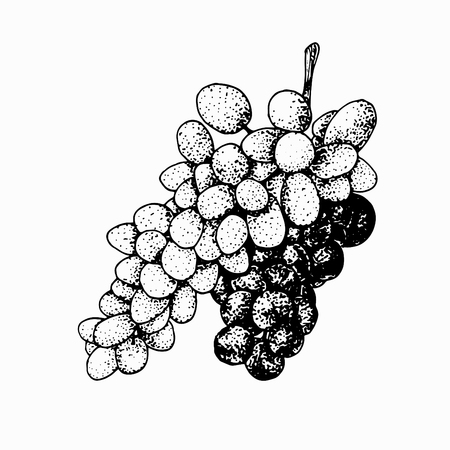 Grapevine isolated on white background. Ripe grape hand drawn sketch. Vettoriali