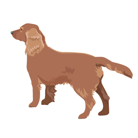 Cocker spaniel isolated on white background. Side view of russian cocker spaniel dog.