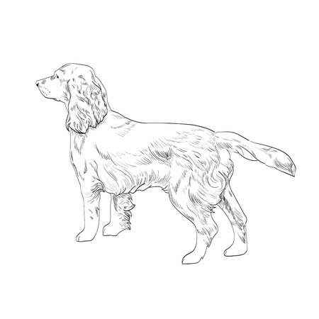 Side view of english cocker spaniel dog.