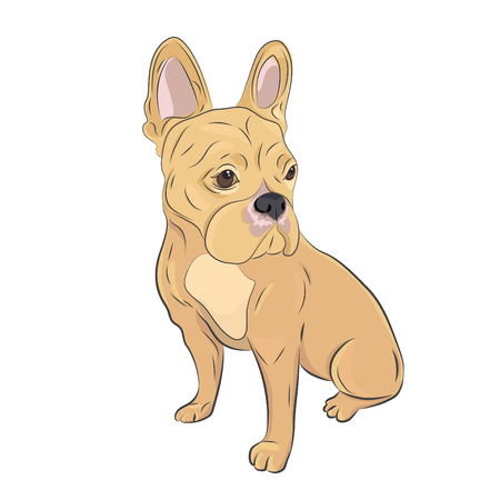 Beige french bulldog sitting isolated on white background.