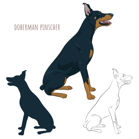 Dobermann sitting and panting with tongue out. Watchdog for your design.