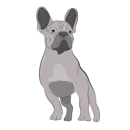 Gray french bulldog standing isolated on white background. Illustration