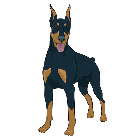 Dobermann standing and panting with tongue out. Watchdog for your design. Vectores