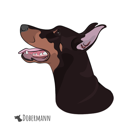Dobermann panting with tongue out. Watchdog profile for your design. Doberman Pinscher head isolated on white background.