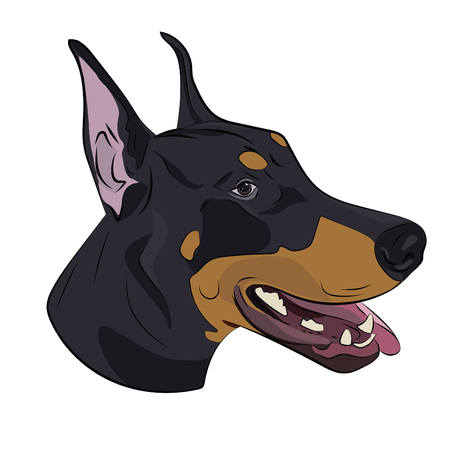 Dobermann panting with tongue out. Watchdog portrait for your design. Doberman Pinscher face isolated on white background.