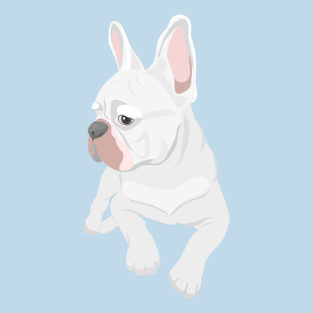 White french bulldog lying isolated on baby blue background. French Bulldog lying and looking sideways. Purebred canine hand drawn illustration. Illustration