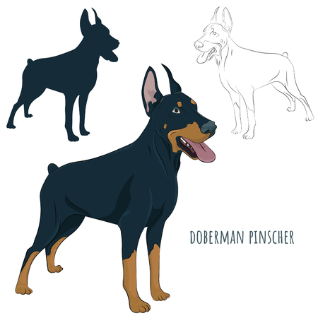 Dobermann standing and panting with tongue out. Watchdog for your design. Doberman Pinscher standing isolated on white background. Silhouette, sketch and color illustration. Illustration