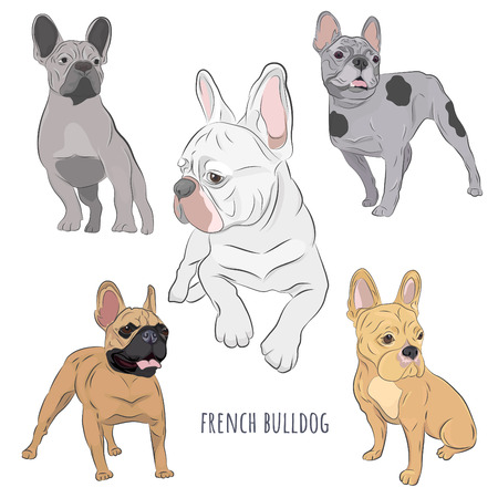 French Bulldog set isolated on white background. Purebred canine hand drawn illustration. Set of five frenchies in different color. Illustration