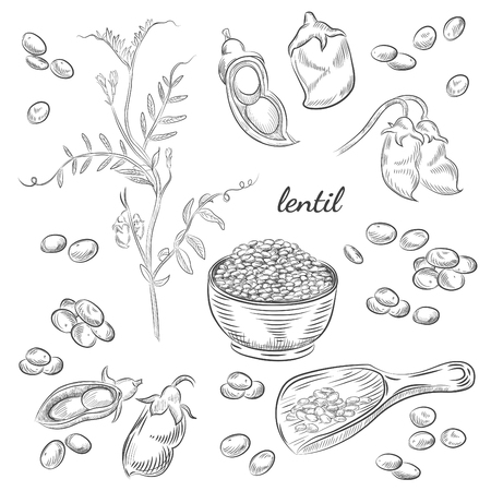 Lentil plant hand drawn illustration. Peas and pods sketches. Scoop for lentils isolated on white background.