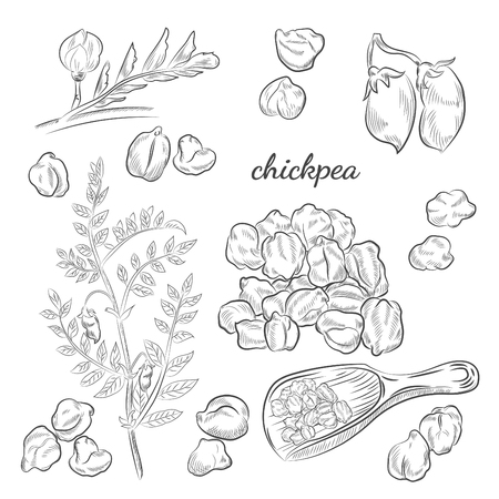 Chickpea plant hand drawn illustration. Peas, pods and blooming sketches. Scoop for chickpeas isolated on white background. Vectores