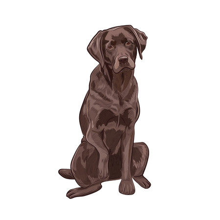 Chocolate labrador sitting and giving a paw. Brown dog isolated on white background. Adorable purebred canine for your design.