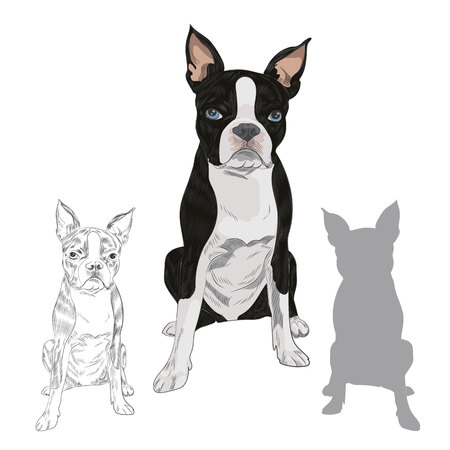Boston Terrier dog breed isolated on white background. Purebred canine in sketch and silhouette for your design.