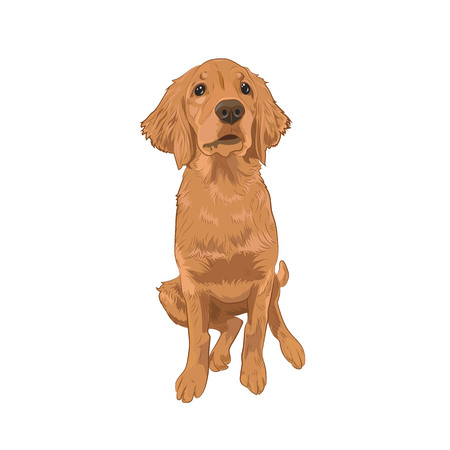 Golden Retriever cute puppy sitting. Yellow dog isolated on white background. Purebred canine for your design.
