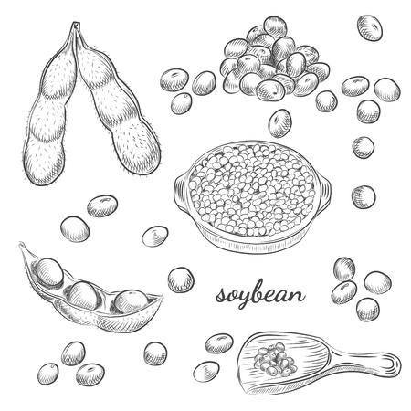Soybean bowl and pods hand drawn sketch on white background. Scoop with soy and beans vector illustration.