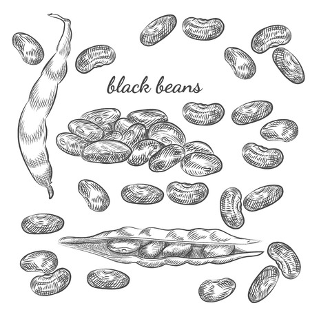 Black beans hand drawn sketch on white background. Beans and pods illustration for your design. Illustration