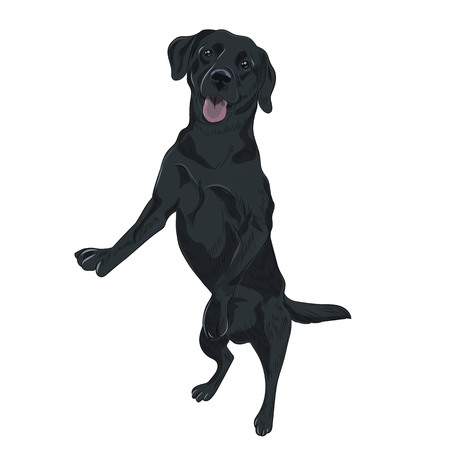 Black purebred canine isolated on white background. Black labrador dog jumping. Trained puppy for your design.