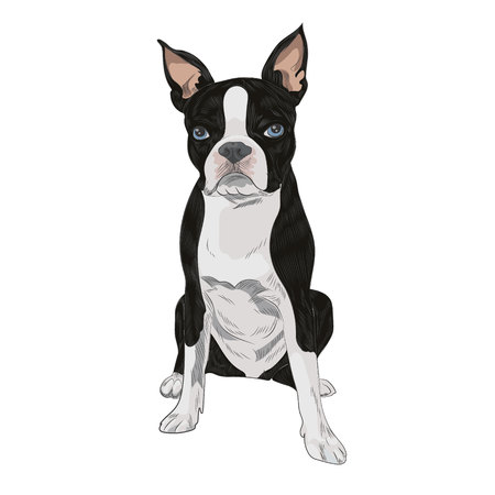 Boston Terrier dog breed isolated on white background. Purebred canine for your design.
