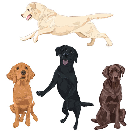 Labrador dogs isolated on white background. Black, chocolate and yellow Labrador breed canines vector illustration.