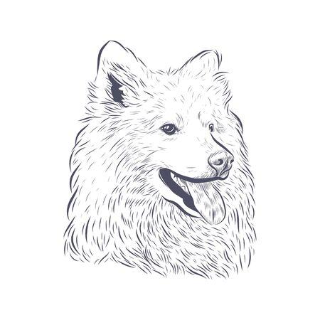 Samoyed dog head panting on white background.