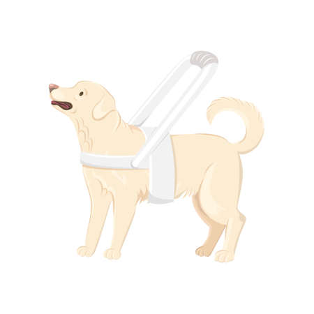 Guide dog wears white harness with long handle  isolated on white