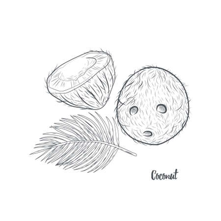 Coconut and palm leaf hand drawn isolated on white background. Whole and half of tropical coconut sketch vector illustration. 일러스트