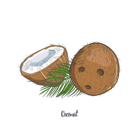 Coconut hand drawn sketch isolated on white background. Whole and half of tropical coconut vector illustration.