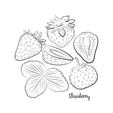 Strawberries sketch vector illustration. Hand drawn strawberry isolated on white background. 일러스트