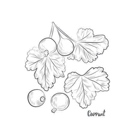 Currant berries sketch vector illustration. Hand drawn currant isolated on white background.