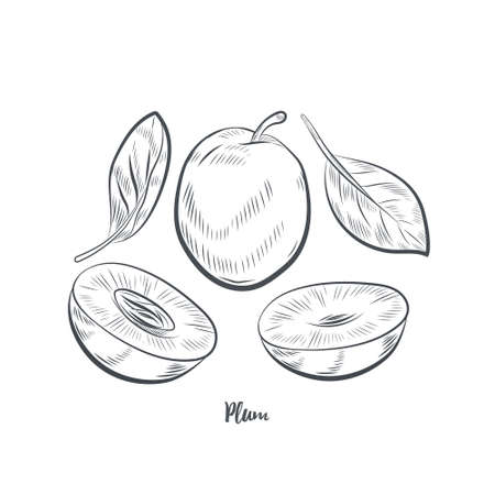 Plum fruit sketch vector illustration. Hand drawn plum isolated on white background.