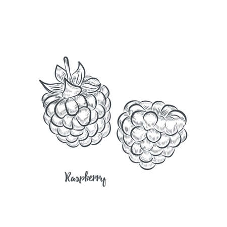 Raspberry sketch vector illustration. Hand drawn raspberries isolated on white background.