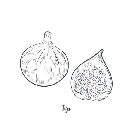 Figs fruit sketch vector illustration. Hand drawn figs isolated on white background.