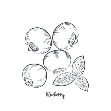 Blueberry sketch vector illustration. Hand drawn blueberry isolated on white background.