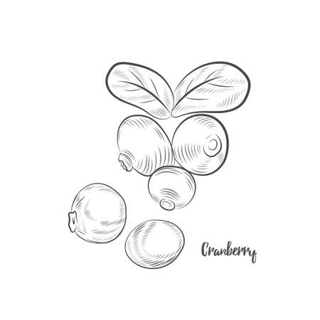 Cranberry sketch vector illustration. Hand drawn lingonberry isolated on white background.