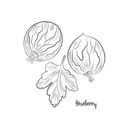 Gooseberry sketch vector illustration. Hand drawn gooseberry isolated on white background. 일러스트