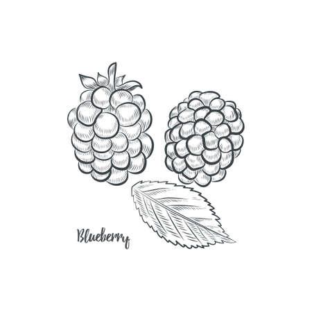 Blackberry sketch vector illustration. Hand drawn blackberry isolated on white background. 일러스트