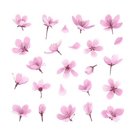 Pink cherry blossom flowers isolated on white background. Gentle spring blooming flowers collection for your design. 일러스트