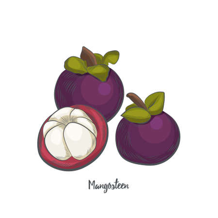 Mangosteen fruit sketch vector illustration. Hand drawn mangosteen isolated on white background.