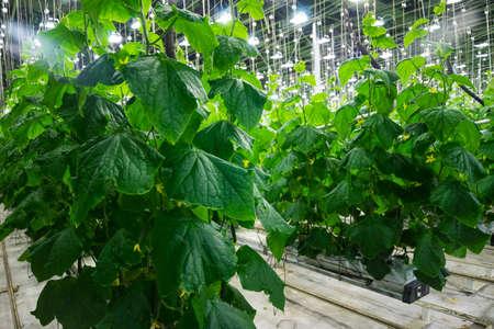 market gardener: Photo big fruiting cucumber greenhouses