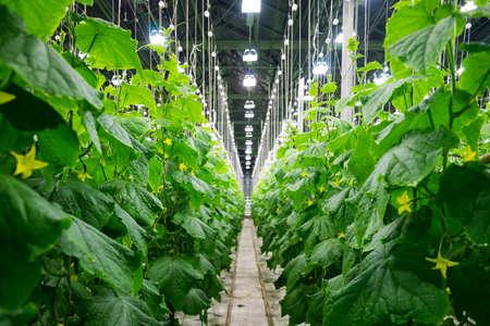 greenhouses: Photo big fruiting cucumber greenhouses