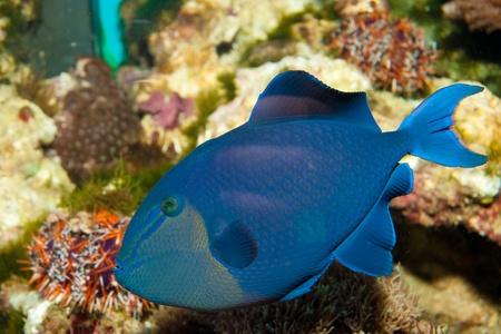 triggerfish: Niger Triggerfish