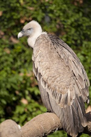 fulvus: Griffon Vulture (Gyps fulvus) on a branch Stock Photo