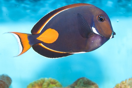 surgeonfish: Achilles Tang (Acanthurus achilles)  in Aquarium Stock Photo