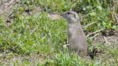 European Ground Squirrel or Souslik (Spermophilus  citellus) in Springtime, searching for Enemies