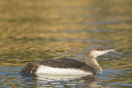 Black Throated Loon or Diver (Gavia acrtica) on water