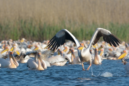 White Pelican Taking off from the flock, from water, in the Danube Delta