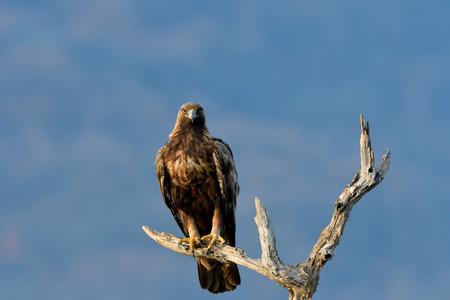 Golden Eagle (Aquila chrysaetos) on a Branch in winter