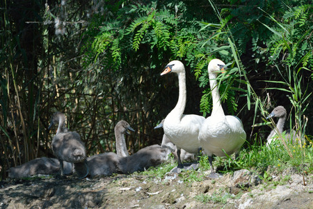 Mute Swan (Cygnus olor) FAmily with Chicks, on Shore