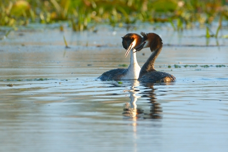 Great Crested Grebe (Podiceps cristatus) Pair on Water, in Springtime