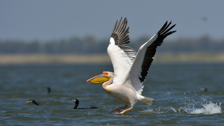 White Pelican (Pelecanus onocrotalus) Taking Off from Water Banco de Imagens - 93625636